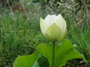 1er lotus aout 2015-007